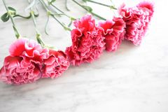 Line of pink carnations stock photo