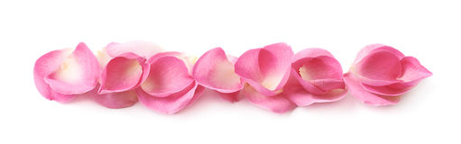 Line of pink rose petals. Isolated over the white background royalty free stock photography