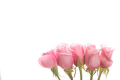 Line of pink roses background Stock Image