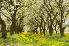 Line of plum trees in beautiful orchard Stock Photos