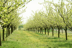 Line of plum trees in orchard Stock Photography