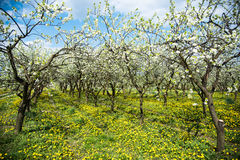 Line of plum trees in orchard Royalty Free Stock Images