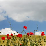 Line of red poppies Stock Photos
