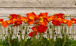 Line of red poppies. Isolated Royalty Free Stock Images