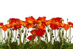 Line of red poppies. Isolated Stock Images