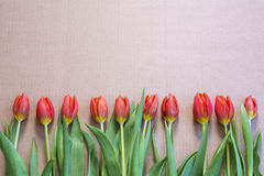 Line of red and yellow tulips Stock Photography
