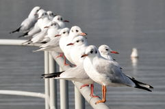 Line of seagulls. Perched on railing with lake or sea in background stock image