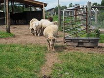 Sheep Out for Stroll on Farm. A line of sheep leaving barn and out for a stroll on farm royalty free stock photo