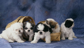 A line of shih-tzu Royalty Free Stock Image