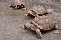 Line of Spur-Thighed Tortoises Stock Photography
