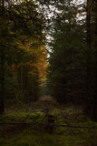 Line of stumps between tall trees in the forest. At fall Royalty Free Stock Photo