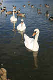 Line of swan. Three swans floating in a line among geese stock images