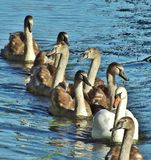 Line of swans. Swan family swimming in a single line,front view Stock Photography