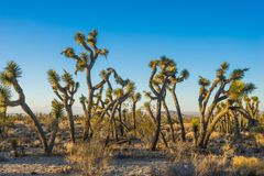Tangled Mass of Joshua Trees. Line of tangled Joshua Trees stands in the midst of the Mojave Desert in southern California Stock Photo