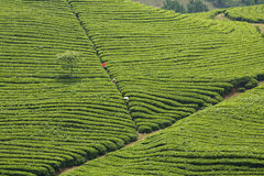 The line of the tea hill Royalty Free Stock Photo