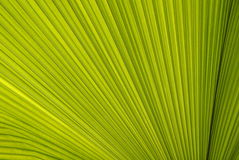 Line and texture of green palm leaf Stock Images