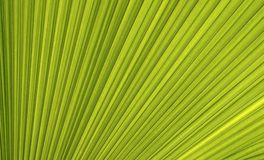 Line and texture of green palm leaf Royalty Free Stock Photo