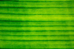 Line, Texture, Pattern of Banana Leaf Stock Photography