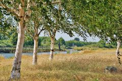 Line of Three Birch Trees in Tall Dry Grass along the River on a Sunny Day Royalty Free Stock Image