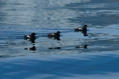 Line of three guillemots reflected in water Royalty Free Stock Photos