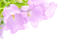 Line of three purple bell flowers Stock Photography