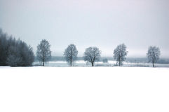 Line of trees. Line of birch trees at wintertime Stock Photography