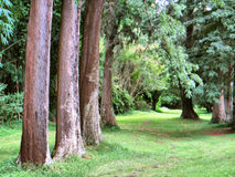 Line of trees forming a perspective Royalty Free Stock Image
