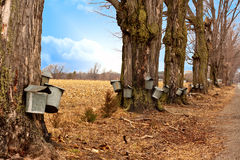 Line of Maple Syrup Buckets. A line of trees with maple syrup buckets Stock Image