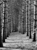 The Line of Trees. A line of old trees at the local park Stock Photography