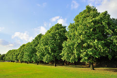 Line of trees in park. Line of trees in a park in summertime with blue sky royalty free stock photography