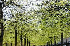 A line of trees in Spring blooming in a Parisian Park Stock Photos