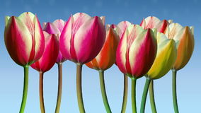 Line of tulips moved in the wind with soft cloudlets stock video footage