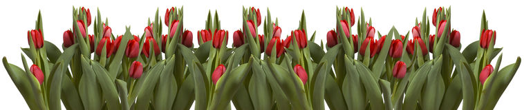 Line of tulips on white Stock Images