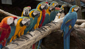 The line up of multi colored parrot Stock Photo