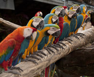 The line up of multi colored parrot Stock Images