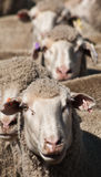 Line up of Sheep Stock Photography