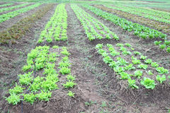 Line vegetable farm horizontal Stock Photography