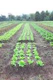 Line vegetable farm vertical Stock Images