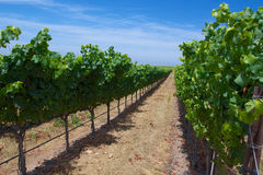 Line of Vineyard Royalty Free Stock Photography