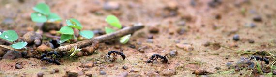 Line of wild ants. Picture of wild ants traveling on ground to save some space and for save some food by making their home stock image