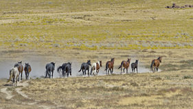 Line of Wild Horses stir up sand Royalty Free Stock Photo