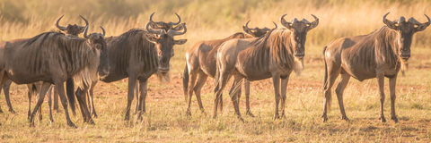 Line of wildebeest standing staring at camera Royalty Free Stock Photos