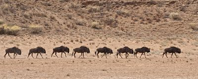 A line of wildebeest walking in the Kalahari deser Stock Photos