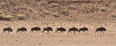 A line of wildebeest walking in the Kalahari deser Stock Photos