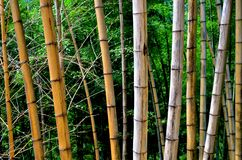 A line of withered bamboos Stock Image