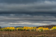 Line of Yellow Birch Trees Under Gray Sky. In Maine wilderness Stock Images