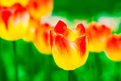 Line of yellow and red tulip flowers Stock Image