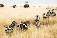 Line of Zebra in Grass of Kenya Stock Photography