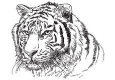 Linea capa del nero di schizzo di tiraggio della mano della tigre sul vettore bianco del fondo Fotografia Stock