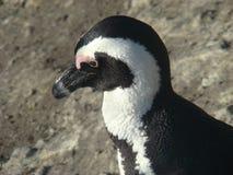 Linea costiera africana del pinguino Fotografia Stock Libera da Diritti